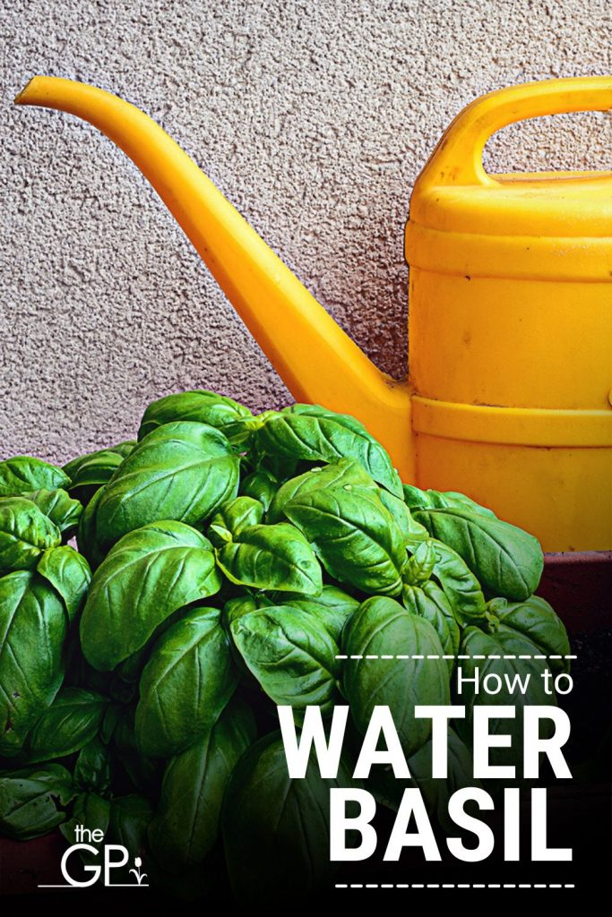 watering basil requires a care guide to do it properly