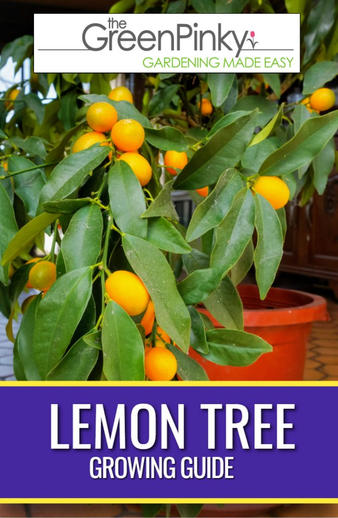 For optimal growth, a lemon tree guide is needed