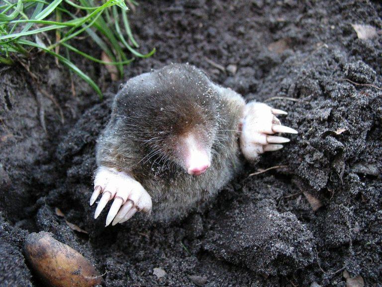 Mole messing garden