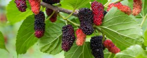 Mulberry fruit hanging from a tree ready for harvest
