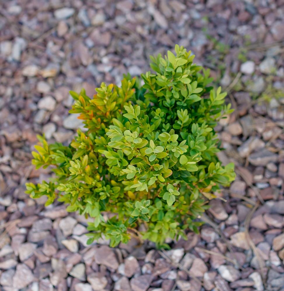 A single nana boxwood that is still young and growing in the ground
