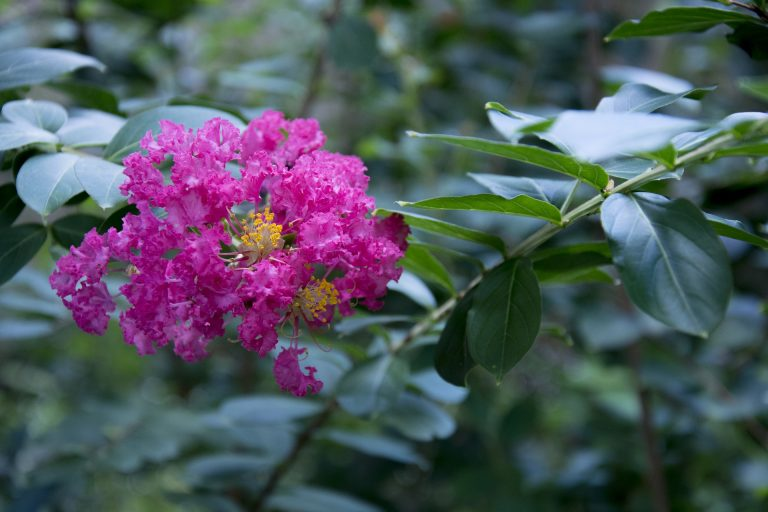 Nutrients for crepe myrtle