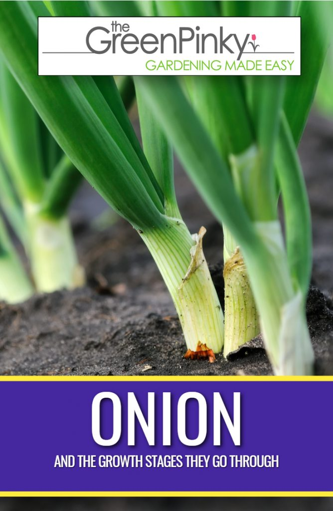 Understanding onion growing stages will help you be a better gardener