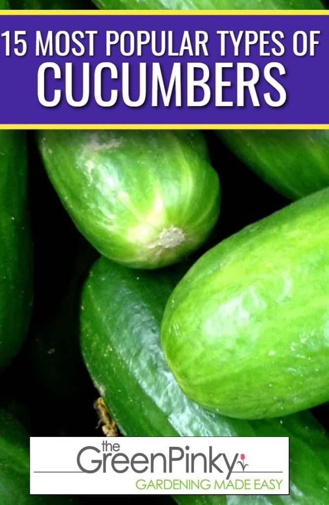 Most popular cucumbers fall into a couple different varieties