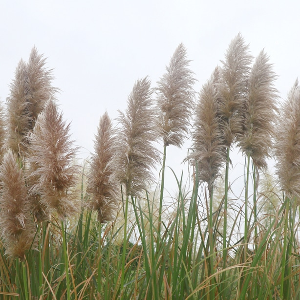 Sometimes, pampas grass can grow like a weed.