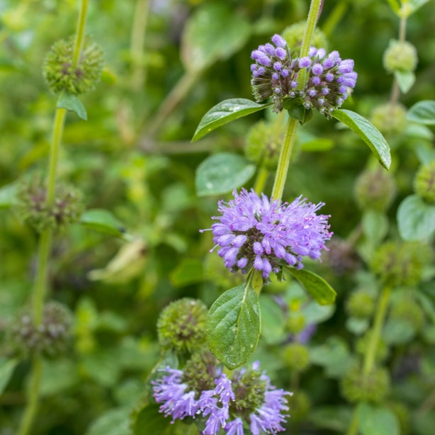 Pennyroyal will provide a beautiful aesthetic to your garden.