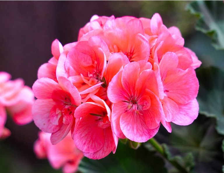 Pink geraniums with best nutrients