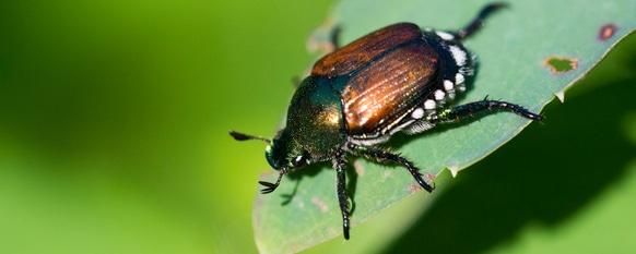 Getting Rid of Japanese Beetles