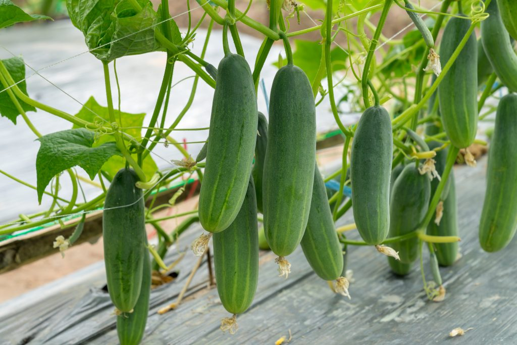 Ten cucumbers hanging down from their vines, ready to be harvested