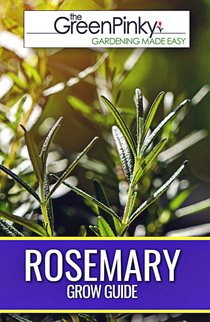 Growing rosemary requires proper maintenance and care.