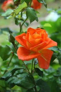 Nutrients for roses