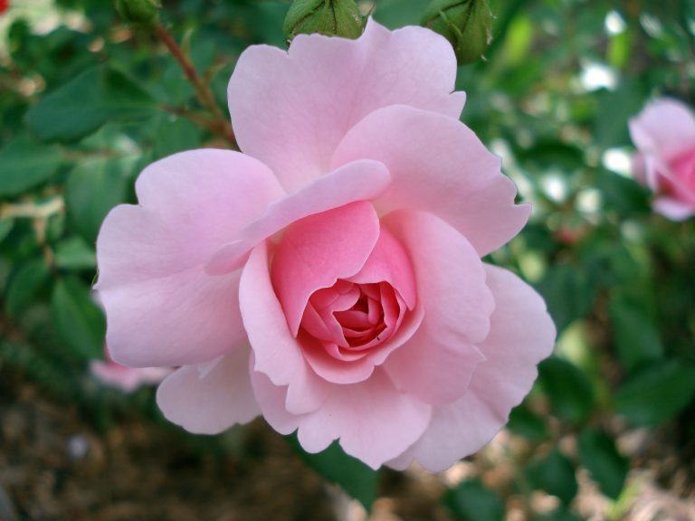 healthy and beautiful rose