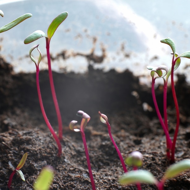Seedlings spaced properly growing out of the soil