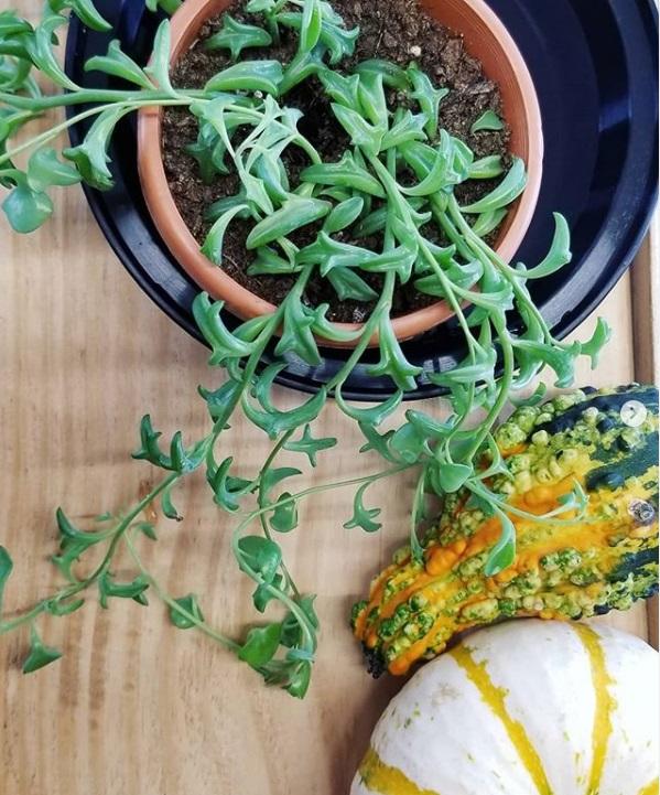 Proper nutrition will allow Senecio Peregrinum to grow robustly