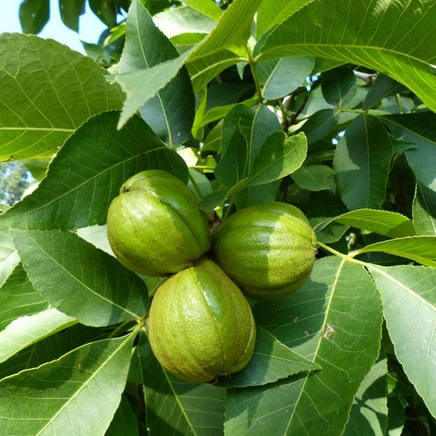 Shagbark tree, Carya ovata, with its nuts