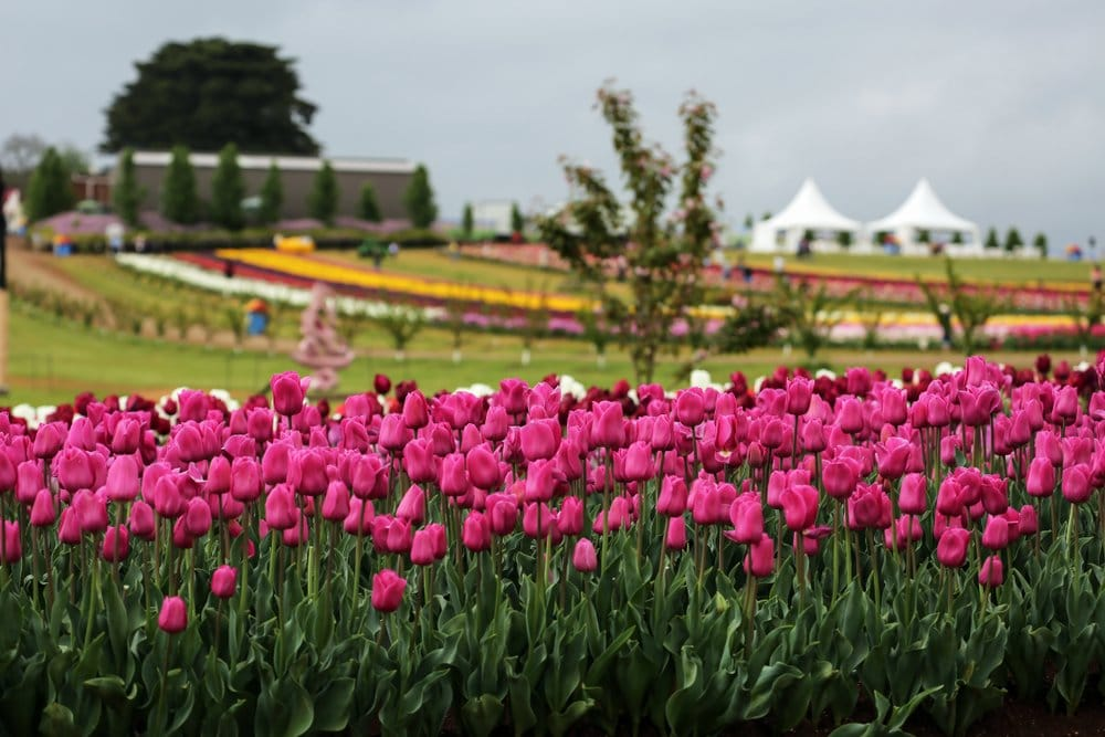 Silvan Victoria tulip festival with a bunch of pink tulips in the foreground and blurred out in the background, many more rows of tulips