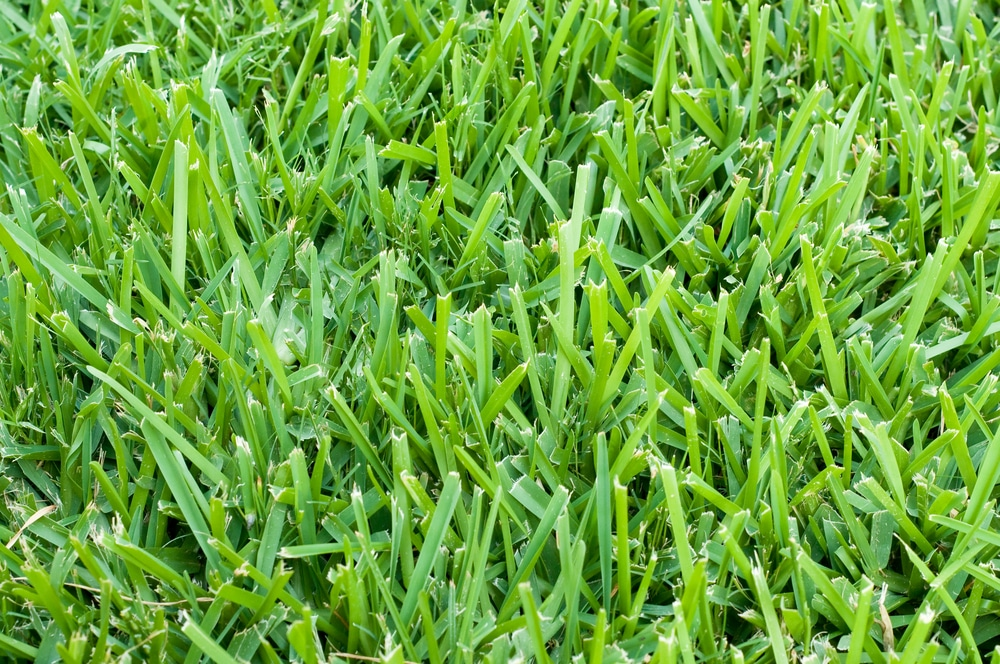 Well maintained St. augustine grass