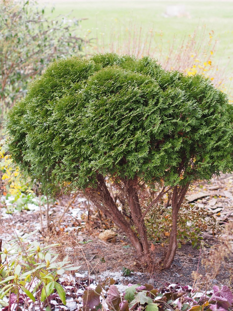 Thuja trees that nwas freshly pruned