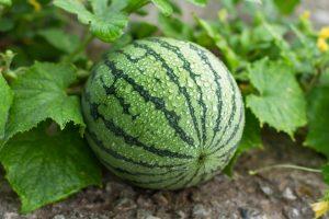 Watermelon grow best when around companion plants
