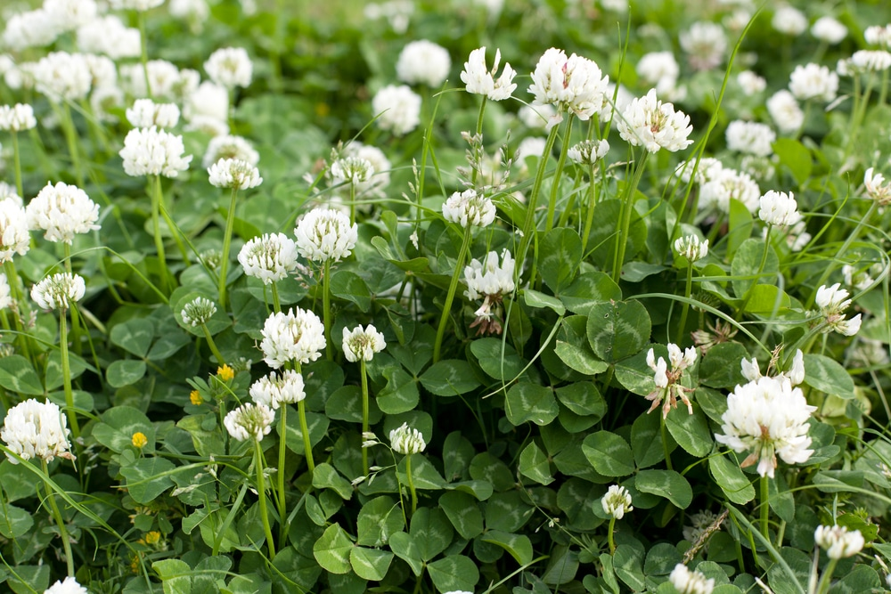 A bunch of white clover in a lawn