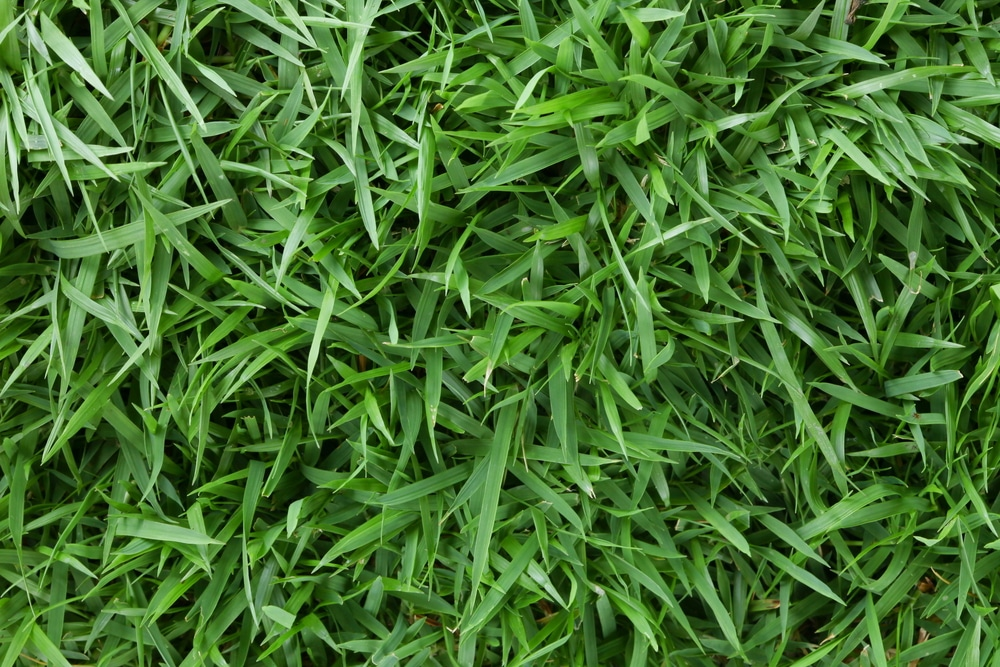 broad leaves of zoysia grass.
