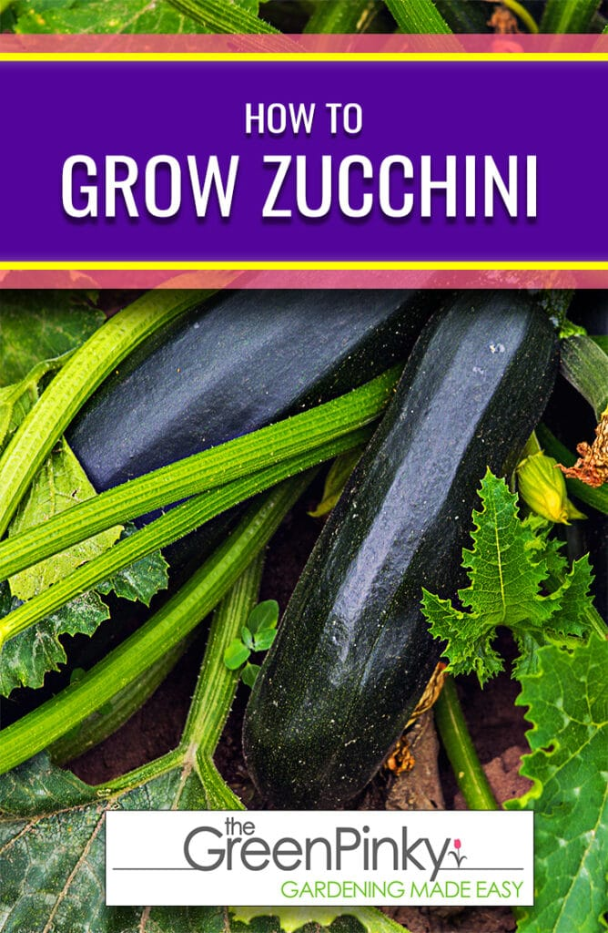 A proper guide is necessary to help zucchini grow optimally