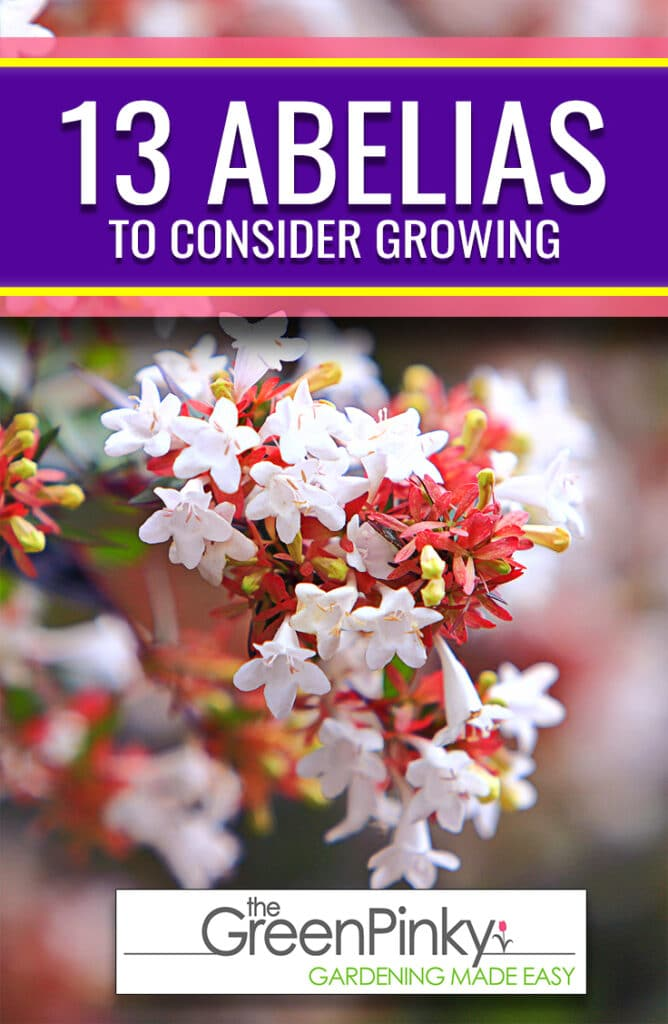 Learn which abelias varieties are most popular and you should consider growing