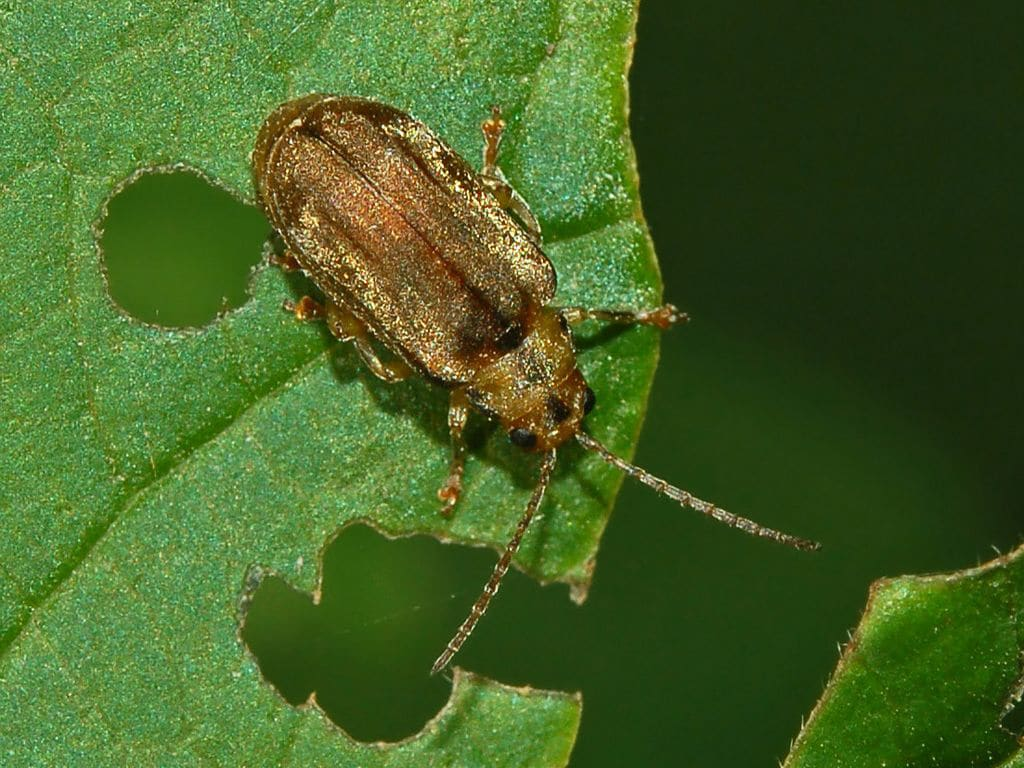 Here is an example of a mature adult bug chewing on foliage