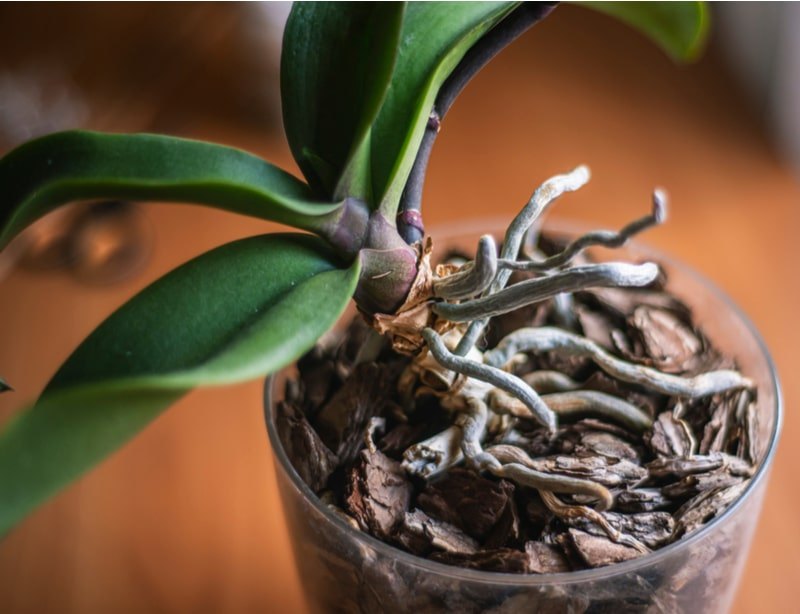 These air roots give the plant the proper oxygen it needs