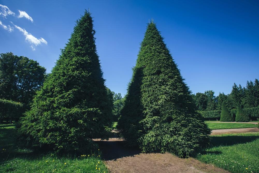 American arborvitae grow to be tall evergreen trees