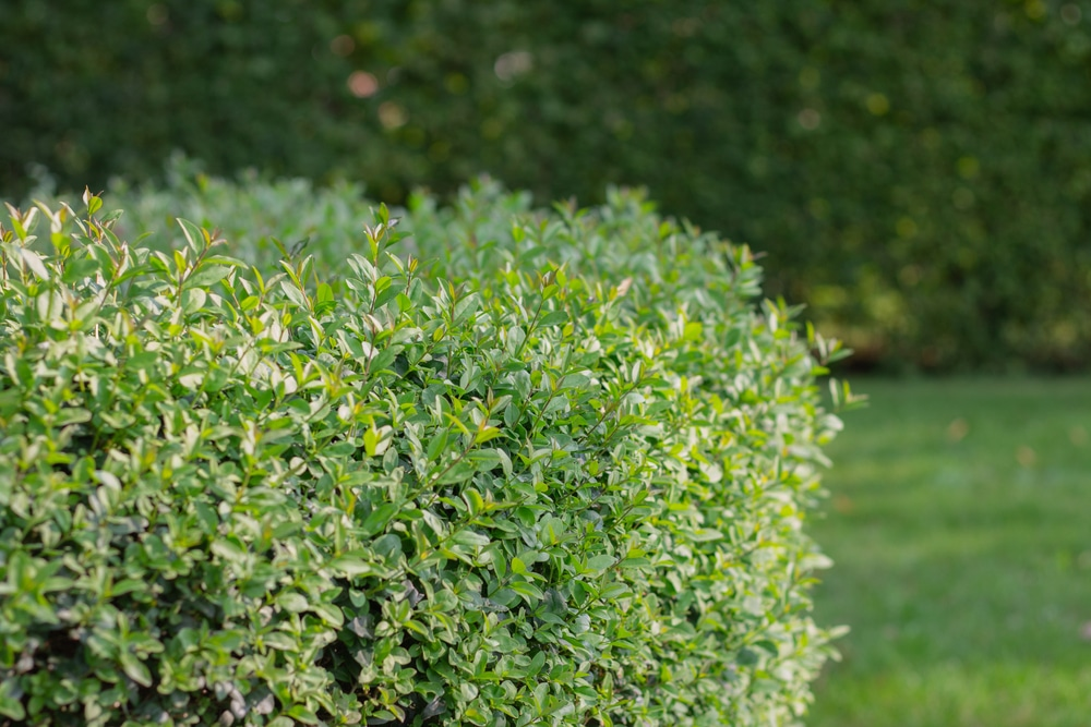 American buxus are a good bush to use for hedging.