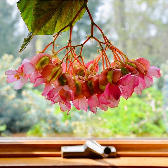 Angel wings begonias with their pink flowers