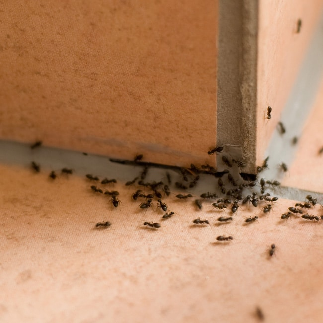 Ants crawl through a small crevice in cement into a house.