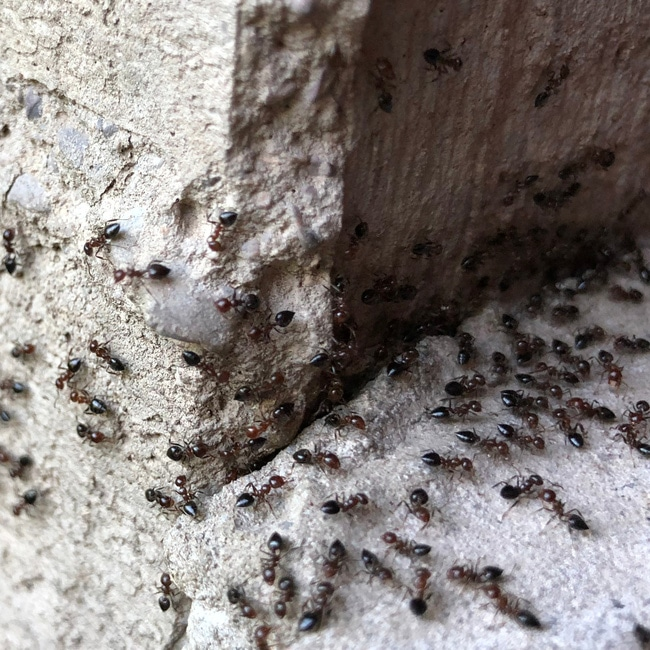 Ants causing damage to structural integrity of a house