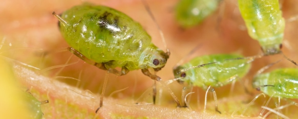 How to Identify and Get Rid of Aphids