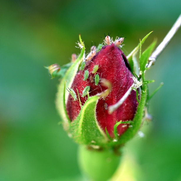 Aphids on a bud that is about to bloom.
