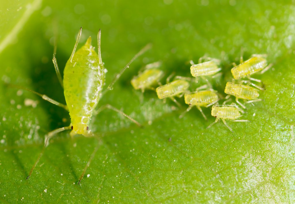 A bunch of aphids sitting on a green leave. One mother (bigger) aphid with seven smaller aphids sitting next to it.