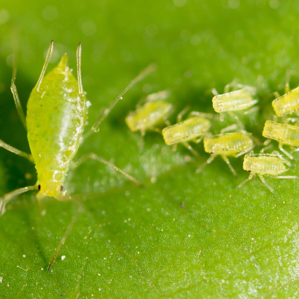 Aphids on the underside of a hibiscus leaf
