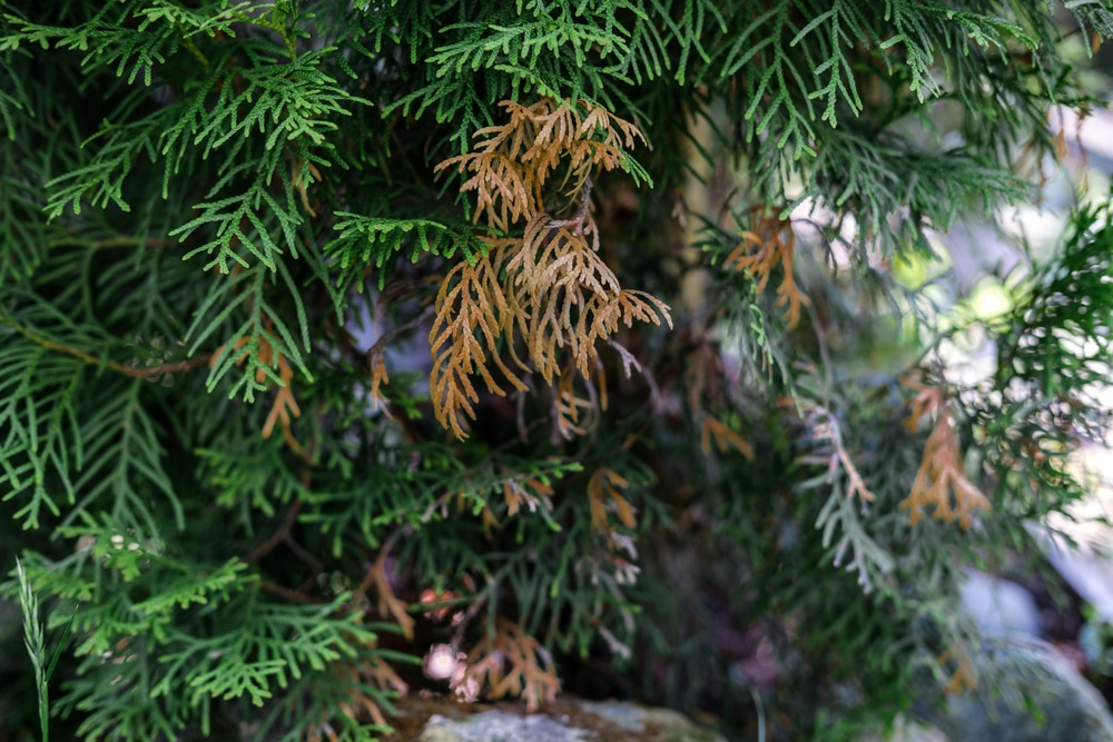 Evergreen trees affected by fungal blight can cause yellowing