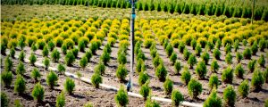 Multiple different types of arborvitae growing in a nursery
