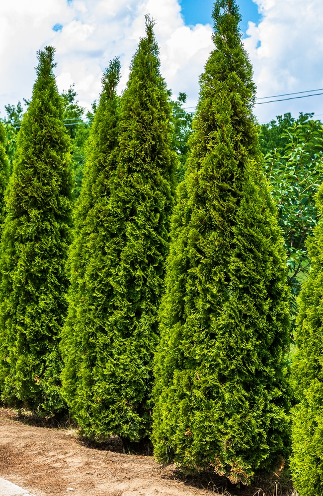thuja trees need optimal nutrition to grow tall