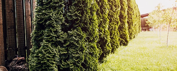 Preventing arborvitae disease is important to prevent death and pests