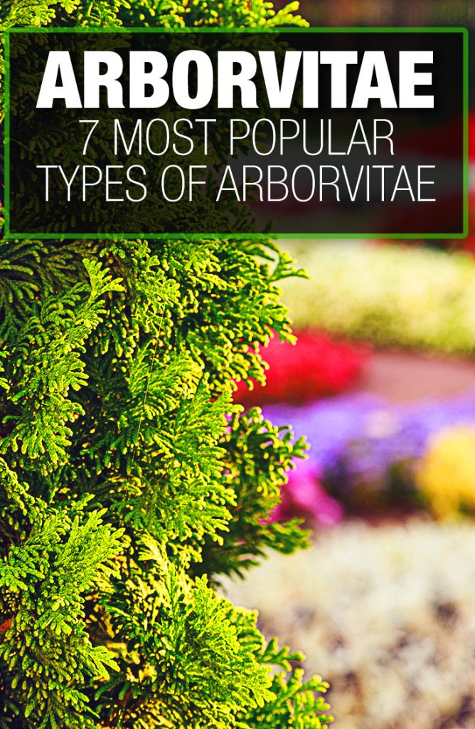 Thuja come in many types and varieties.