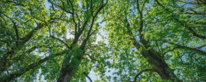 Healthy ash tree canopy after being given proper care