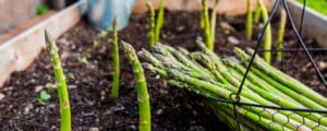 Asparagus harvest is increased when planted with companion plants