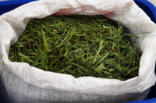 Grass clippings in a bag ready to be disposed of