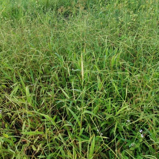 Bahia grass growing rampant and robustly.