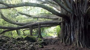 Huge banyan tree growing healthily with proper nutrients