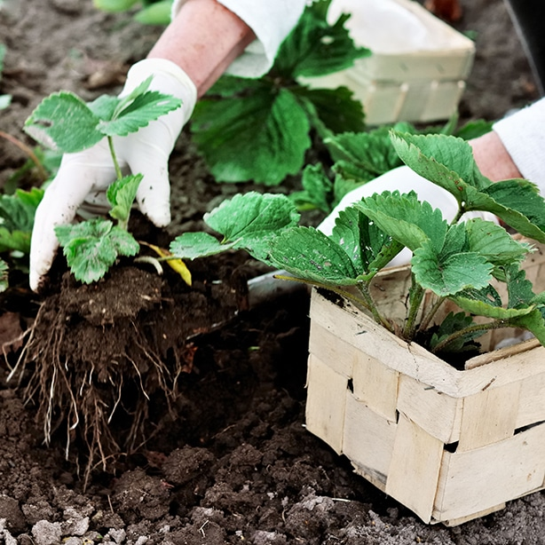 Plant bare root rootstocks into the ground.