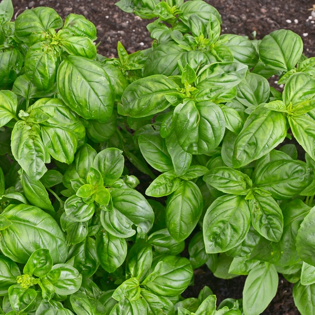 Basil is good at deterring asparagus beetles and other pests